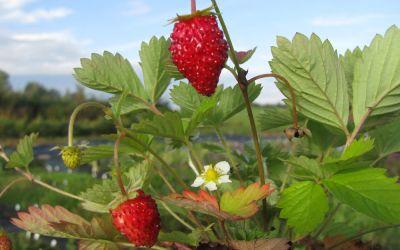Fragaria vesca var. semperfl. Alexandria - Monats-Erdbeere