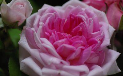 Rosa borbonica Blairii II - Historische Kletter-, Bourbon-Rose