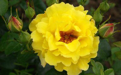 Rosa Lichtkönigin Lucia ® - Strauch-Rose