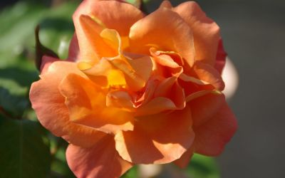 Rosa 'Westerland' ® - Strauch-Rose