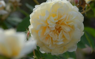 Rosa Yellow Romantika ® - Strauch-Rose