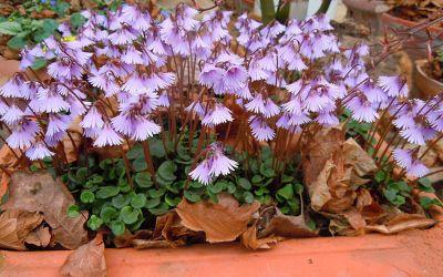 Soldanella Hybride Spring Symphony - Alpenglöckchen, Troddelblume, Soldanelle