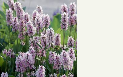 Stachys Hybride Summer Crush - Garten-Ziest
