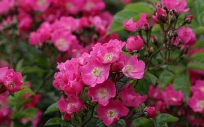 Rosa Multiflora-Hybride Maria Lisa - Kletter-Rose, Rambler