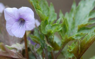 Viola Hybride Silver Samurai - Blattschmuck-Veilchen