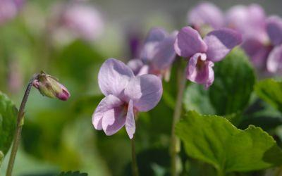 Viola odorata Lees Peachy Pink - Duft-Veilchen