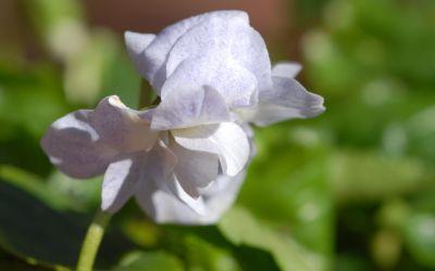 Viola alba ssp. dehnhardtii Ferndale - Parma-Veilchen