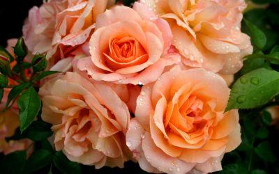 Rosa Aprikola ® - Bodendecker-Rose, Kleinstrauch-Rose