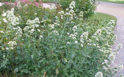 Centranthus ruber Albus - Spornblume