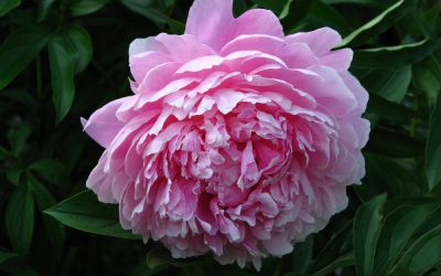 Paeonia lactiflora Sarah Bernhardt - Edel-Pfingstrose