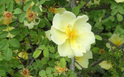 Rosa hugonis - Chinesische Goldrose, Wildrose