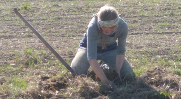 Rhabarber ausgraben
